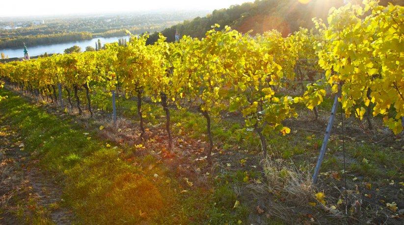 Weingarten Jungherrn vom Stift Klosterneuburg