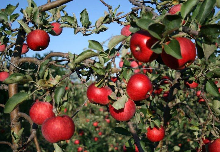 Rote Äpfel am Baum Stift Klosterneuburg