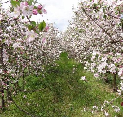 Blüte im Obstgut Stift Klosterneuburg