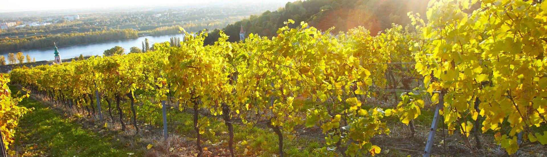 Weingarten Jungherrn im Kahlenbergerdorf