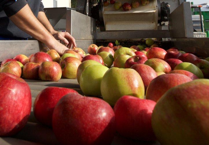 Äpfel vom Obstgut Stift Klosterneuburg am Sortierband