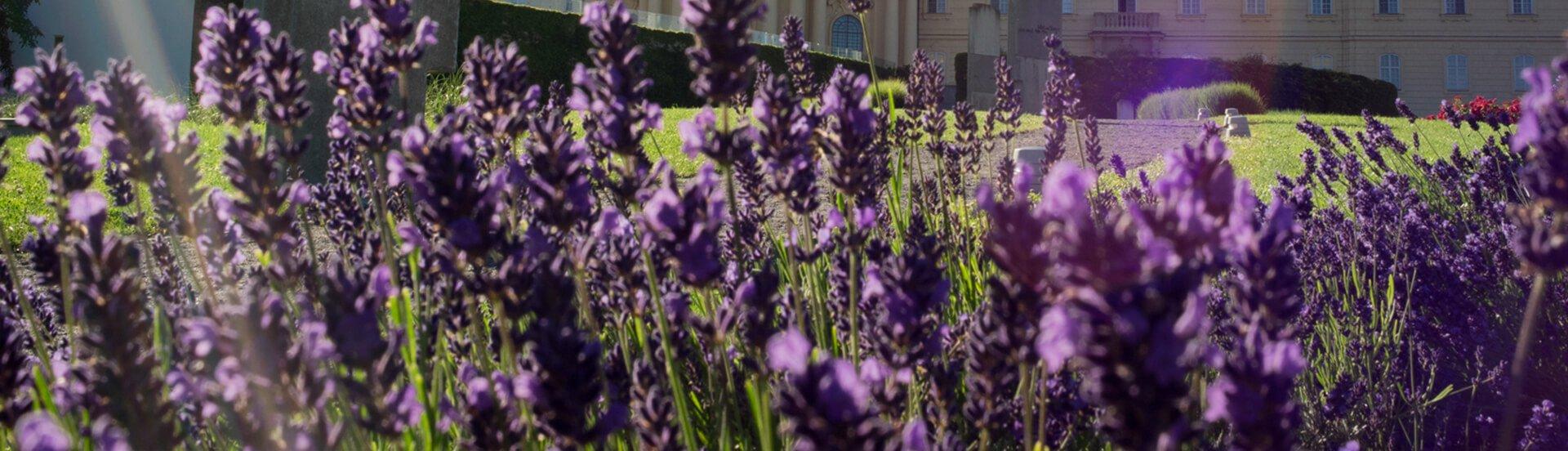 Lavendel vor dem Stift Klosterneuburg
