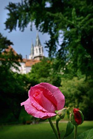 Rose und im Hintergrund die Kirchtürme des Stiftes Klosterneuburg